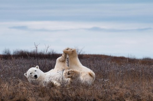 2nd Place - Polar Bears - Churchill Wild 2019 Guest Photo Contest - Marielena Smith - Fall Dual Lodge Safari - Nanuk Polar Bear Lodge and Seal River Heritage Lodge