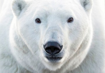 1st Place - Polar Bears - Churchill Wild 2019 Guest Photo Contest - Karen Fowlie - Fall Dual Lodge Safari - Nanuk Polar Bear Lodge and Seal River Heritage Lodge