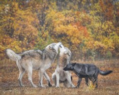 Wolves playing at Nanuk. Albert Saunders photo..