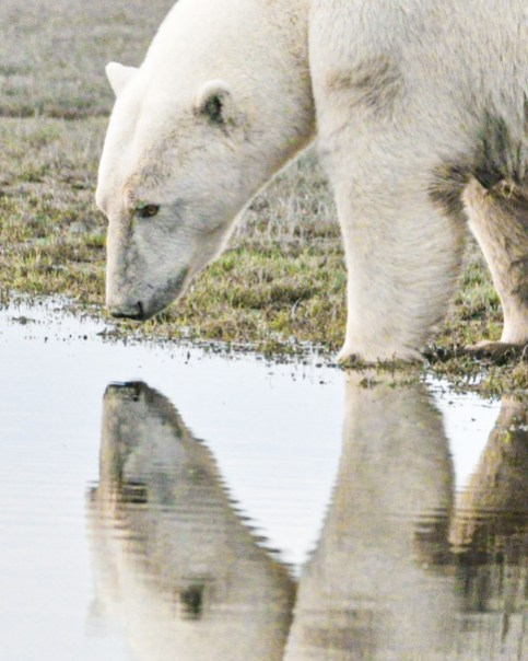 Polar bear takes a drink at Nanuk Polar Bear Lodge. Albert Saunders photo.