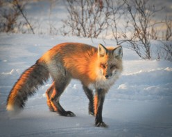 Red fox. Nanuk Polar Bear Lodge. Albert Saunders photo.