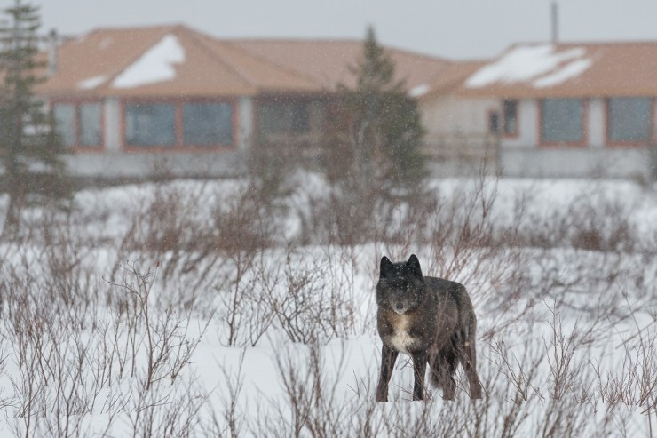 Wolf watching us on a snowy day at Nanuk. Gillian Lloyd photo.