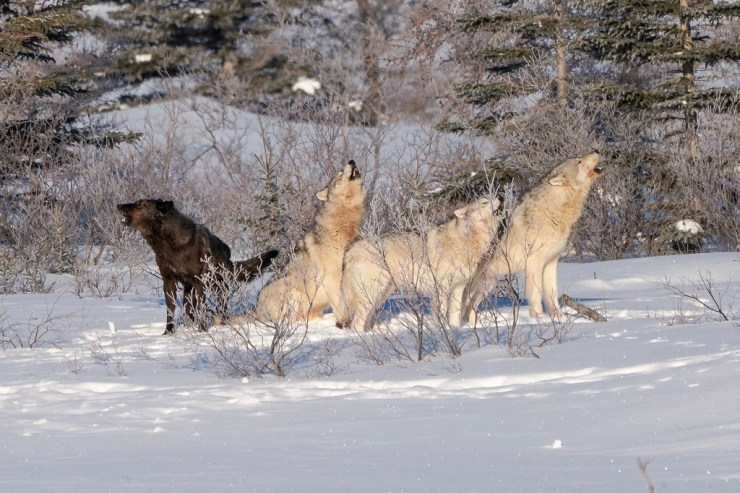 Communication. Wolves howling at Nanuk. ArcticWild.net photo.