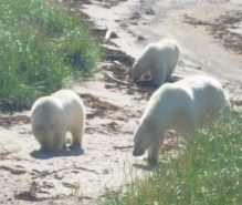Three bears on the shore.