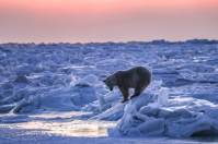 Polar bear alone on the ice. Seal River Heritage Lodge. Susan Portnoy photo.