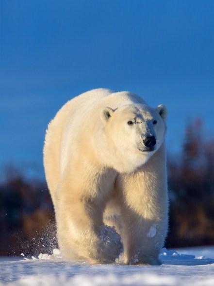 Polar bear Scarbrow on the move at Dymond Lake Ecolodge. Jianguo Xie photo.