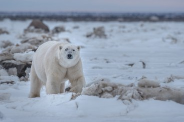 Big, healthy and powerful. Scarbrow the polar bear in his prime at Dymond Lake Ecolodge. Cyril and Sophie Bauer photo.