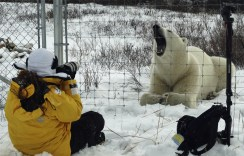 Guest photographing polar bear from inside the compound fence. Dymond Lake Ecolodge.