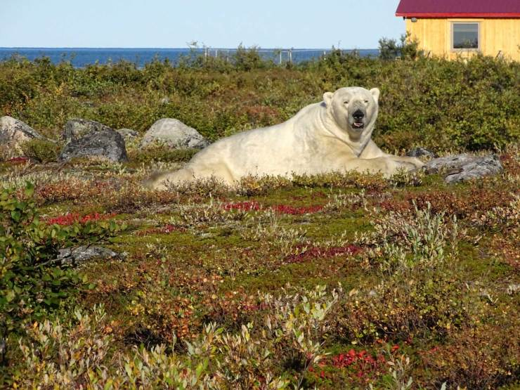 Polar bear in fall colours. Seal River Heritage Lodge. Photo courtesy of guests Sam and Frosty Frostman.