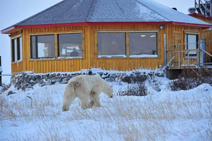 Polar bear approaching Seal River Heritage Lodge. Ian Johnson photo.