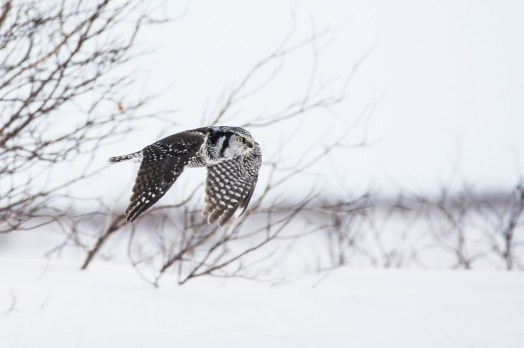 Snow owl on a mission. Nanuk Polar Bear Lodge. Anja Kolb Kokocinski photo.