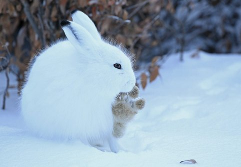 Arctic hare. Ian Johnson photo. Nanuk Polar Bear Lodge.