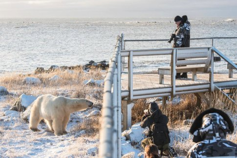 Polar bear visiting hours at Seal River Heritage Lodge. Jad Davenport photo.