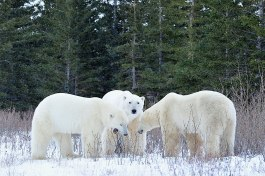 Polar bear friends. Nanuk Polar Bear Lodge. Ian Johnson photo.