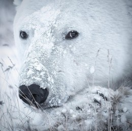 Emotional intelligence. Polar bear. Snow on face. Nanuk Polar Bear Lodge. Anjali Singh photo.