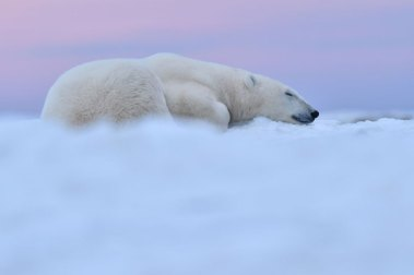 Polar bear on cloud of snow. Seal River Heritage Lodge. Ian Johnson photo.