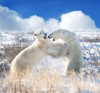Polar bears sparring in the clouds at Seal River Heritage Lodge. G. Potts photo.