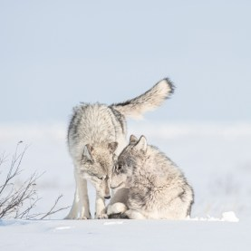 Wolf couple at Nanuk Polar Bear Lodge. Jad Davenport photo