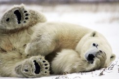 Polar bear with paw over eye. Dymond Lake Ecolodge. Angela Farnsworth photo.