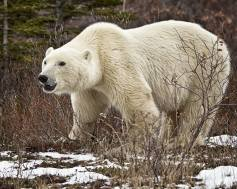 Powerful polar bear. Nanuk Polar Bear Lodge. Skip Kask photo.