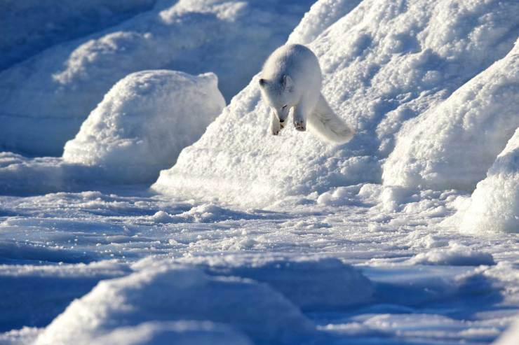 Pounce! Arctic fox at Seal River. Andy Skillen photo.