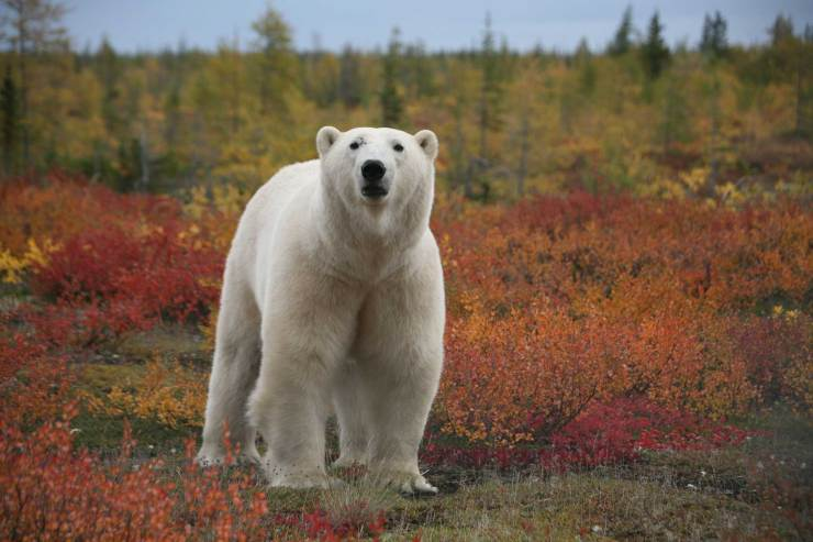 Polar bear in fall colours at Dymond Lake Ecolodge. Linda Besse photo.