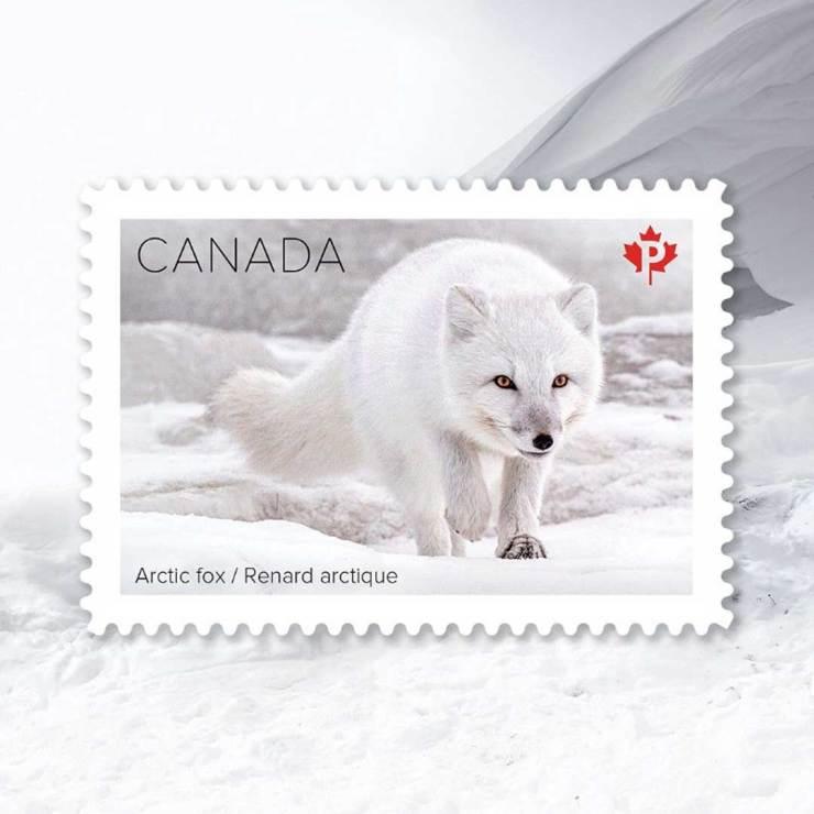 Arctic fox. Canada Post Snow Mammals Stamp Collection. Dennis Fast photo.