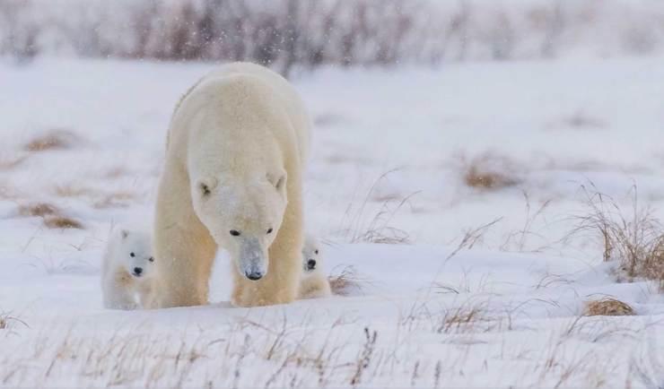 Mom and cubs. Den Emergence Quest. Nanuk Polar Bear Lodge. Jools Lloyd video capture.