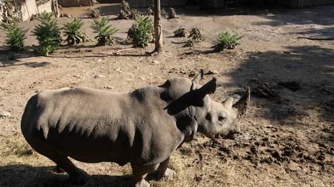 rinoceronte-escapo-zoologico-Tbilisi-GeorgiaAP_CLAIMA20150615_0143_18