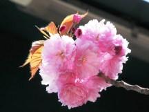 Hoa đào năm trước còn cười gió đông