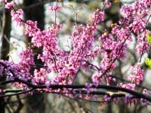 Hoa như hạt bắp non màu tím