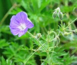 geranium johnson blue (2)