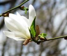 magnolia trong rừng