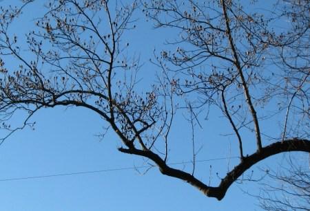 Nhánh cây sycamore