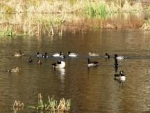 Ba loại chim vịt sống hòa bình trên hồ