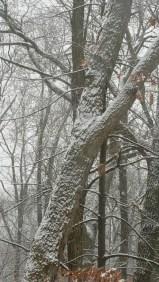 cây dính tuyết