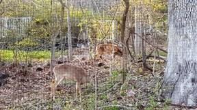 bầy nai ở rừng sau nhà, sau lưng là hoa đầu xuân loáng thoáng vàng