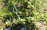 Cây mọc hoang dại trong rừng, gai nhọn trái đỏ li ti. Mùa xuân cây ra lá, hoa nhỏ lấm tấm màu vàng nhạt, gần như xanh lá cây rất xinh.