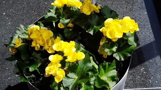 hoa vàng trong concourse