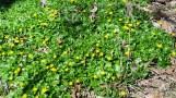 Không phải dandelions đâu. Hoa này có tên là bloodroots vì rễ của nó màu cam và màu đỏ. Có loại hoa trắng, vàng, nửa trắng nửa vàng.