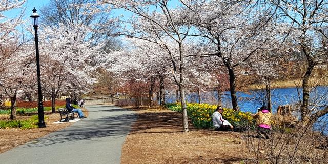 trong công viên đầy hoa đào