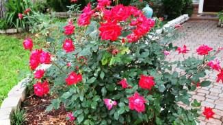 bụi hồng đỏ trước sân