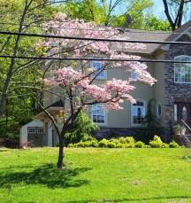 Cây dogwod nở hồng trước sân một ngôi nhà đẹp.