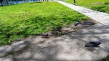 Chim ăn bánh mì vụn ở công viên Washington