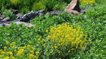 Hoa dại mọc vàng khoảng sân cỏ ở hồ Watchung