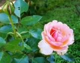 Hoa hồng chụp trước nhà bạn