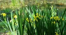 Hoa diên vỹ nước, có lẽ dễ trồng, tôi thấy chúng mọc hoang cạnh bờ hồ Surprise