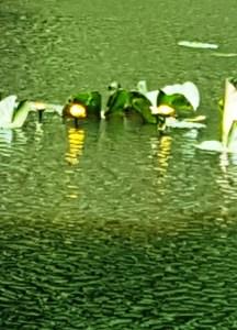Đây là hoa súng màu vàng, giống như quả banh, hay bóng đèn, tròn và vàng giống như nụ hoa cúc. Hay nó là hoa cúc mọc trong nước. Thủy cúc, hay cúc thủy. Nhớ câu ca dao. Cúc mọc dưới sông gọi là cúc thủy. Chợ Sài Gòn xa chợ Mỹ cũng xa. Viết thư thăm hết cả nhà. Trước thăm phụ mẫu sau là thăm anh.