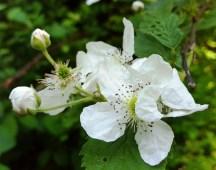 Hoa rừng, có lẽ cùng họ với tường vi. Hoa này có nhụy màu đen lấm tấm, cánh dài hay hơi tròn, hoa kia có nhụy vàng cánh hình trái tim. Hoa dại nhưng thơm ngát. Tôi đi giữa một rừng hương bát ngát