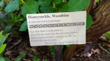 honeysuckle woodbine